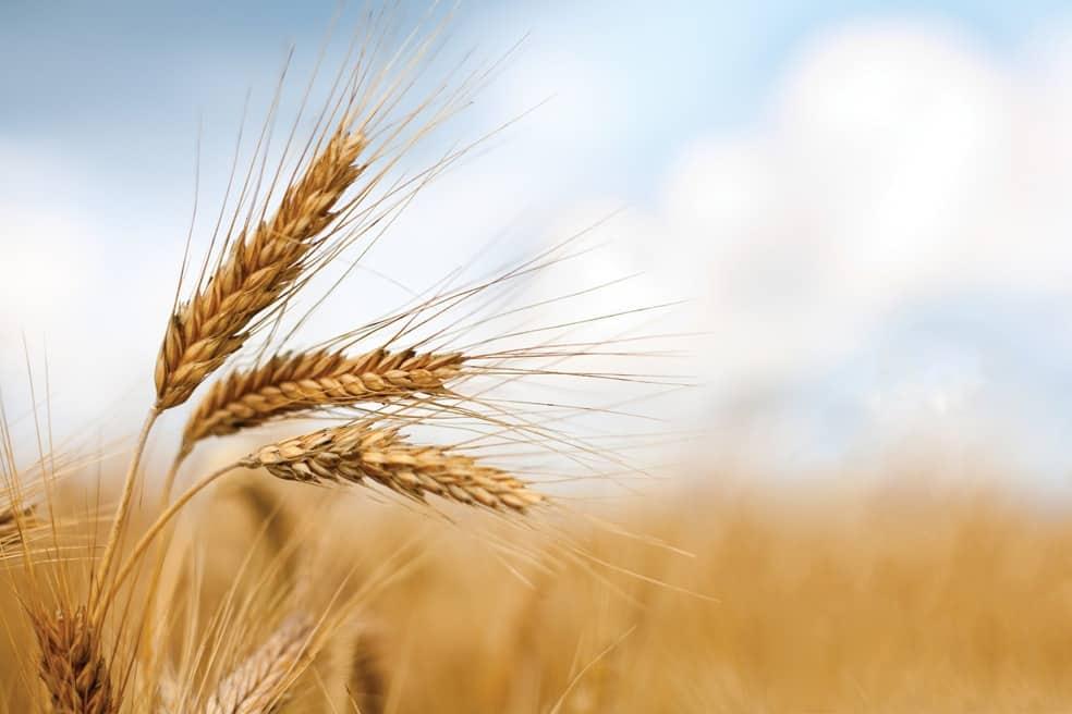 spighe di grano 1